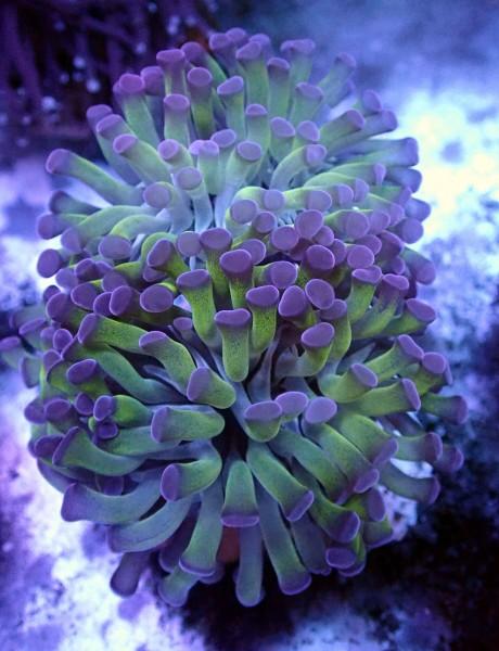 Euphyllia paraancora bicolor 3 Köpfe