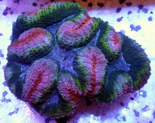 Lobophyllia multicolor XL