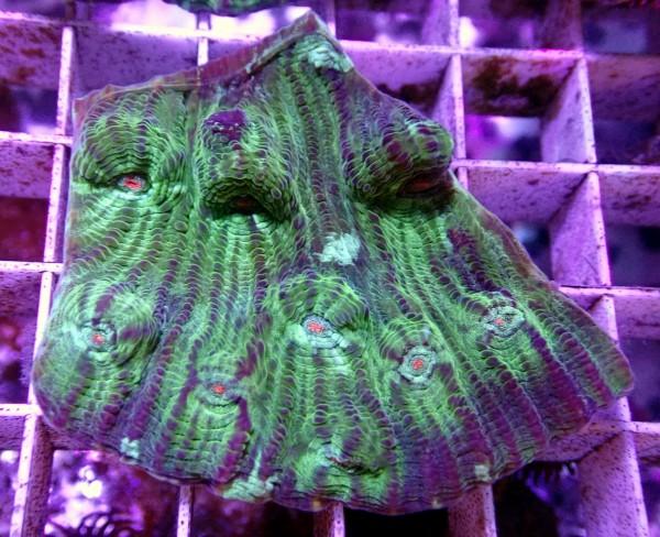 Echinophyllia chalice