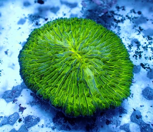 Fungia sp. neongrün S