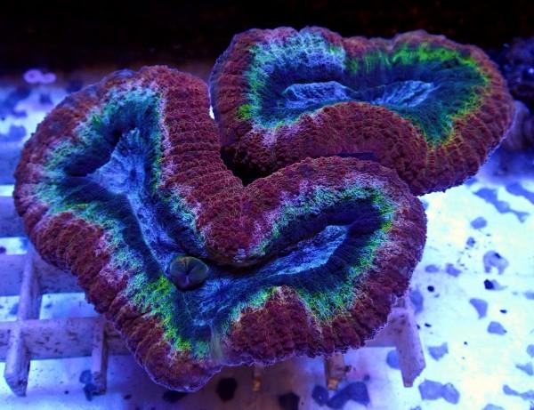 Lobophyllia multicolor L