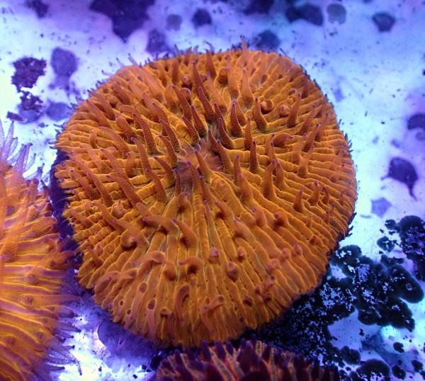 Fungia sp. orange L