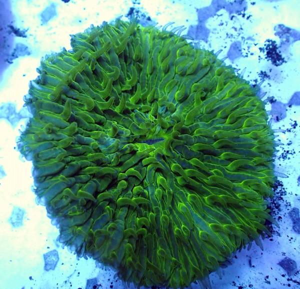 Fungia sp. neongrün