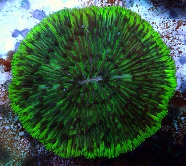 Fungia sp. grün L